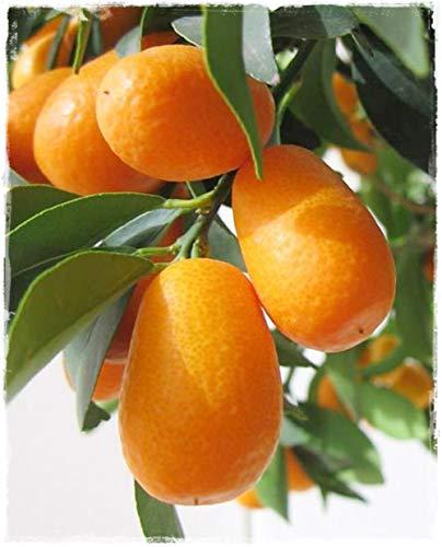 Planta de Kumquat ovalada 'Citrus Fortunella Margaridad' – en maceta: Ø 22 cm – H 80/90 cm