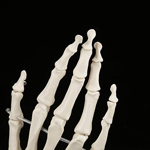 Modelo de mano anatómico, esqueleto de mano, educativo para escuelas con herramienta de enseñanza base Hospital