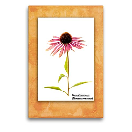 CALVENDO Premium Textil-Leinwand 50 x 75 cm Hoch-Format Purpur-Sonnenhut (Echinacea purpurea), Leinwanddruck von Georg Hanf