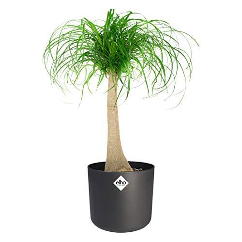 Kamerplant van Hellogreen - Olifantspoot Beaucarnea - Hoogte: 80cm - in ELHO sierpot antraciet