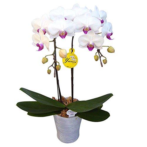 ミニ胡蝶蘭 ギフト 4号鉢 ラージサイズ2本立 ホワイト お花 プレゼント お祝い 生花 鉢植え 開店祝い 父の日 敬老の日 おじいちゃん 贈り物
