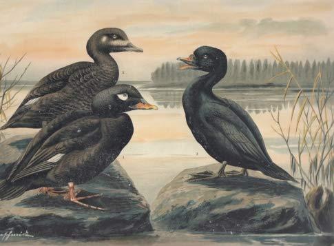 Samtente. Oidemia fusca (L.)., Männchen im Prachtkleide. Weibchen. Trauerente. Oidemia nigra (L.). Männchen im Prachtkleide. Chromolithographie.