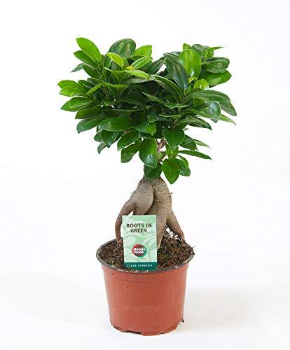 "Ficus microcarpa ""Ginseng"" | Chinesische Feige | Bonsai Baum | Höhe 30-35cm | Topf-Ø 12cm"