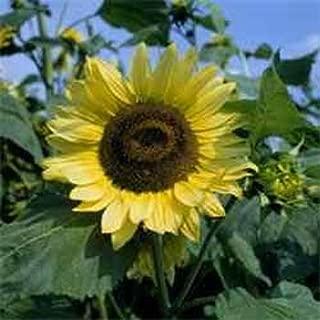 Outsidepride Sunflower Lemon Queen - 1/4 LB