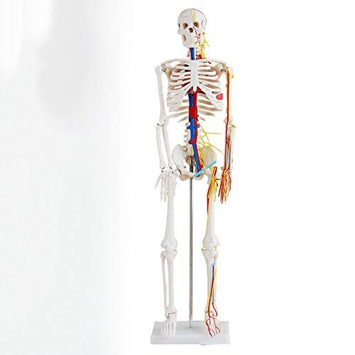 TKer 4D Anatomie-Modell des menschlichen Skeletts Kit, Knochenmodell, Für die medizinische Ausbildung