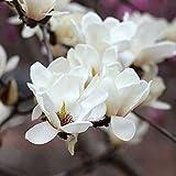 20 piezas Semillas de magnolia blanca Árbol de hoja caduca Semilla de flores de herencia sin transgénicos Primavera floreciente Jardín Patio Plantación Fácil de germinar Amado por los jardineros
