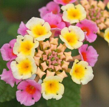 100pcs / sac Vente Hot arc Hoya Rare Graines Outdoor Blooming Bonsai plantes en pot de fleurs Maison et Jardin Livraison gratuite 9