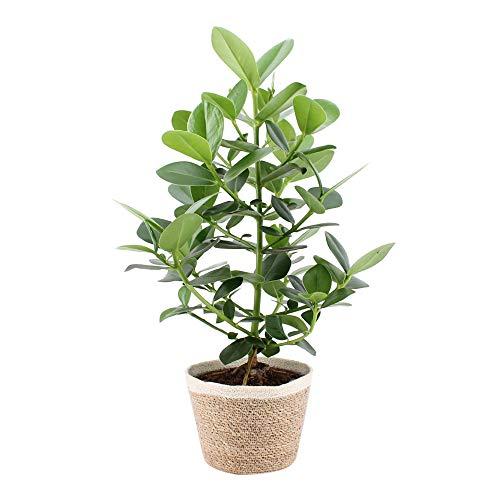 Zimmerpflanze von Botanicly – Balsamapfel in dekorativem Übertopf als Set – Höhe: 70 cm – Clusia Rosea