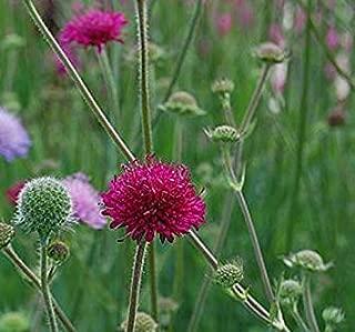 gardenexpert 15872 Knautia