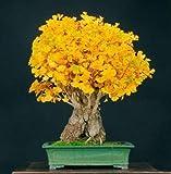 Generic Fresh 10 Stück Ginkgo Biloba Baumsamen zum Pflanzen von Hellorange
