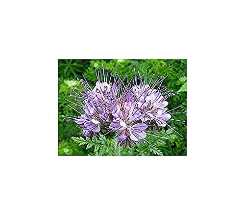 Rainfarn-Phazelie - Phacelia tanacetifolia - 1000 Samen
