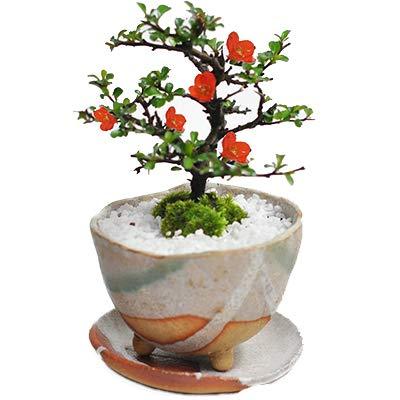 【母の日】長寿梅のミニ盆栽 信楽祝い鉢 ラッピング メッセージカード、説明書&肥料付