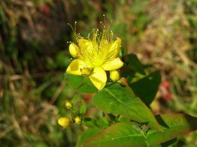 Seedeo Johanniskraut (Hypericum perforatum) 300 Samen