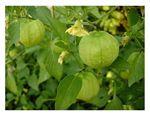 "Premier Seeds Direct Tomaten ""Tomatillo Verde"" beinhaltet 80 Samen"