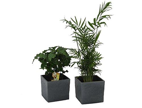 Dominik Blumen und Pflanzen, Zimmerpflanzen KafffeeundPalmen Set und 2 Scheurich Übertöpfe anthrazit Stone, circa 14 x 14 x 14 cm, grün