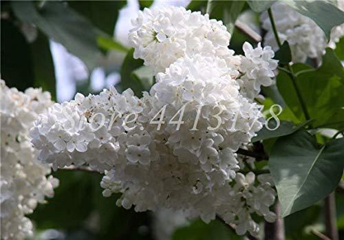 Bloom Green Co. 100 Unids/Bolsa Bonsai Lila Japonesa (Extremadamente Fragante) Flor De Clavo En Maceta Lila Ãrboles Al Aire Libre para La Decoraciã³n del Jardãn del Hogar: 2