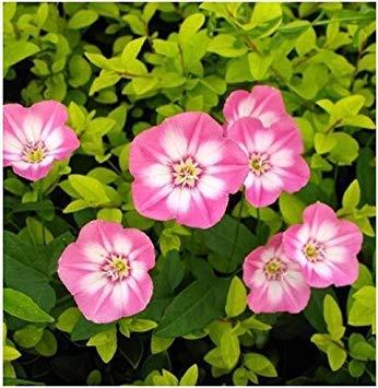VISTARIC Armée verte: 2016 nouveau Berserk Promotion Spéciale Balcon Pot rouge Rare blanc Petunia Graines de fleurs plantes à fleurs 50 particules/lot