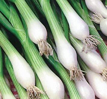 Zwiebel, weiße Lissabon, grüne Zwiebel oder Frühlingszwiebel, 99 Samen!Groco