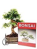 Anfänger Bonsai-Set Liguster, ca. 30cm, 4 teiliges Sparset (1 Liguster-Bonsai, 1 Schere, 1...