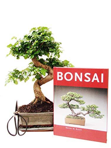 Anfänger Bonsai-Set Liguster, ca. 30cm, 4 teiliges Sparset (1 Liguster-Bonsai, 1 Schere, 1 Untersetzer, 1 Bonsaibuch)