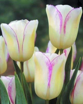 RETS GRAINES: 50 Early Bloom Garden ing Belle - Livraison Maintenant !!!