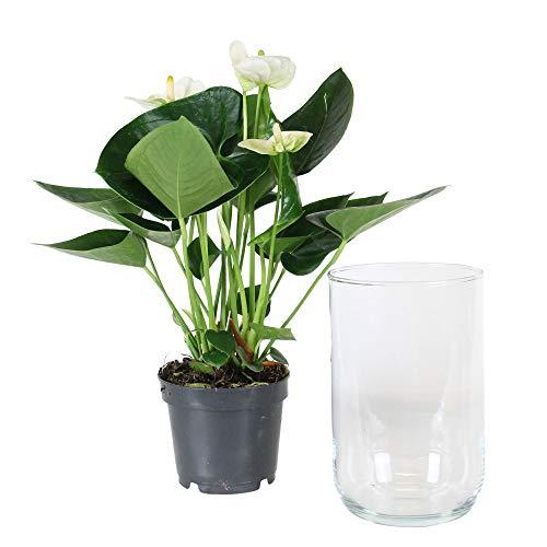 Anthurium andreanum Alabama |Fiore di fenicottero rosso inclusoVaso di vetro |Altezza 40-45 cm |Vaso in Vetro Ø 13x21 cm