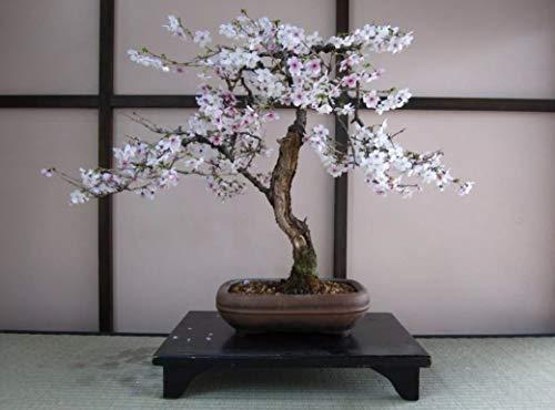 Bonsai Black Cherry Tree Seeds - 20 Seeds - Grow a Fruit Bearing Bonsai Tree