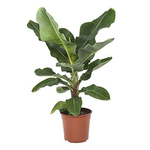 Plante dintérieur de Botanicly – Bananier – Hauteur: 65 cm – Musa
