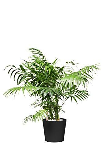 EVRGREEN Bergpalme Pflegeleichte Kleine Zimmerpflanze in Hydrokultur als Geschenk-Set inkl. Keramiktopf Anthrazit