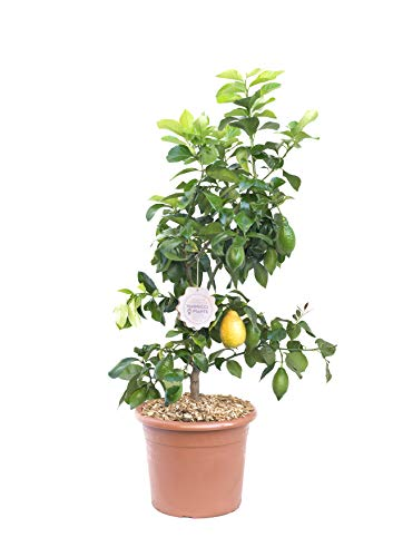 Citrus limonum, Vannucci Piante, Limone, Agrumi, Pianta vera, Pianta da terrazzo, Albero da frutto, Mediterranea