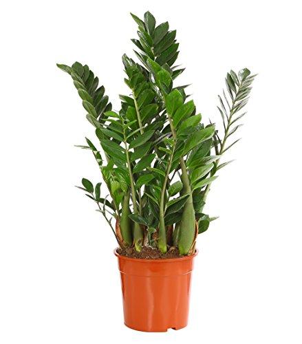 Dehner Glücksfeder, mit ledrigen Fiederblättern, ca. 60-70 cm, Ø Topf 21 cm, Zimmerpflanze
