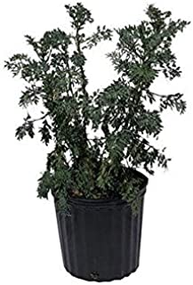 Ruda, Rue, Live Plant, 2 Feet Tall, 3 Gal Container from Florida