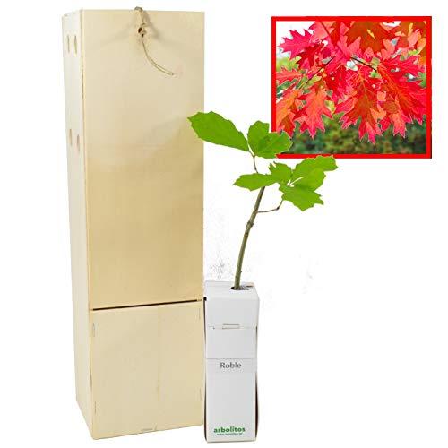 ROBLE arbolito de pequeño tamaño en caja de madera. Alveolo forestal del Roble (1)