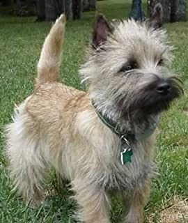 Terrier Grooming: Cairns, Westies and Scotties