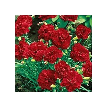Red Carnation Flower Seeds ~50 Top Quality Seeds Amazing Red Garden Colour