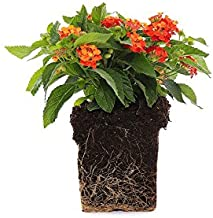 Plants by Post Quart Lantana Lucky Red 1