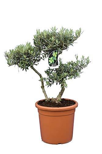 Olea europaea BONSAI - echter Olivenbaum - Gesamthöhe 90-110 cm - Topf Ø 38 cm - 25 Ltr