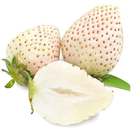 Graines de fraise blanche 200 +, fraise alpine blanche neige, Fragaria pour la plantation de jardins potagers