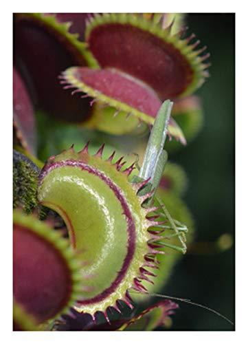 "Venus-Fliegenfalle""Shark Teeth"" - Haifischzähne / 10 Samen/inkl.Karnivorenerde (Dionaea muscipula)"