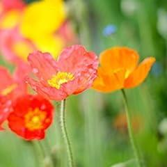 ケシの花、花びら、赤、オレンジ、ピンク、夏 キャンバスの 写真 ポスター 印刷 植物・花 (60cmx40cm)