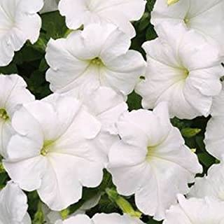 Petunia Easy Wave White Pelleted Flower Seed 100 Seeds