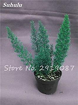Belle sétaire Graines Plantes vivaces Bonsai extérieur arc-en-Fleur Croissance naturelle graminée Beauté Votre jardin 100 Pcs 6