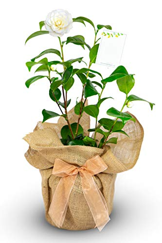 Camellia Golden Anniversary Gift Wrapped with Gift Card in a 2litre Pot- Golden Wedding - 50th Golden Wedding Anniversary
