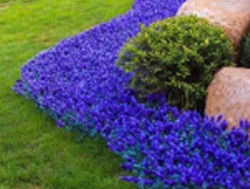 Bodendecker Schleichende Blumensamen 50Pcs, Creeping Blütenteppich kletterpflanze Winterhart Mehrjährig Saatgut Duftende Kräuter Staudenblumen Steinkraut MehrjŠhrige Sukkulenten