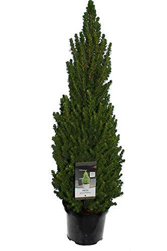 Weiß-Fichte, Zuckerhutfichte, Zwergfichte - Picea glauca Perfecta - Gesamthöhe 100-120 cm im 5 Ltr. Topf