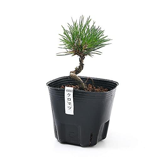 (盆栽)クロマツ(黒松) 苗 2〜4号(1ポット)