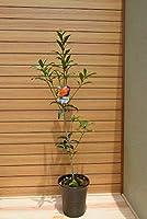 キンモクセイ鉢植え(庭木の種類)