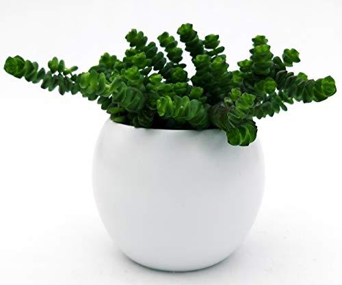 Crassula HOTTENTOT Jade-Halskette in weißer Vase, Echte Pflanze