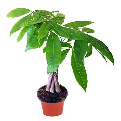 Glückskastanie, Pachira aquatica, 40-45cm hoch Topf Ø 12cm, immergrüne Zimmerpflanze, pflegeleicht, Zimmerbaum, versandkostenfrei bestellen