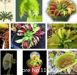 Promotion Livraison gratuite graines de Dionaea géant clip Venus Fly trap Graines 300PCS graines insectivores fleur Garden Seed Bon